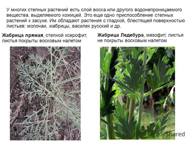 У многих степных растений есть слой воска или другого водонепроницаемого вещества, выделяемого кожицей. Это еще одно приспособление степных растений к засухе. Им обладают растения с гладкой, блестящей поверхностью листьев: молочаи, жабрицы, василек р