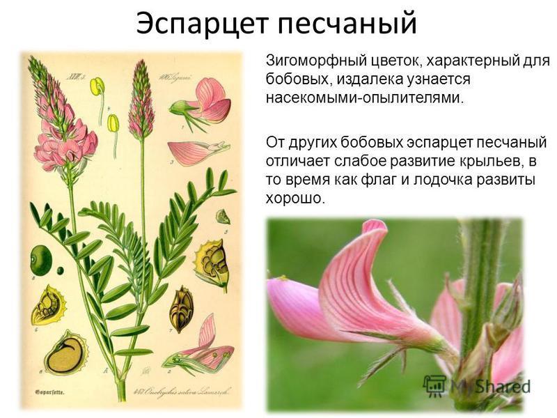 Эспарцет песчаный Зигоморфный цветок, характерный для бобовых, издалека узнается насекомыми-опылителями. От других бобовых эспарцет песчаный отличает слабое развитие крыльев, в то время как флаг и лодочка развиты хорошо.