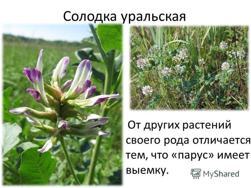 Солодка уральская От других растений своего рода отличается тем, что «парус» имеет выемку.
