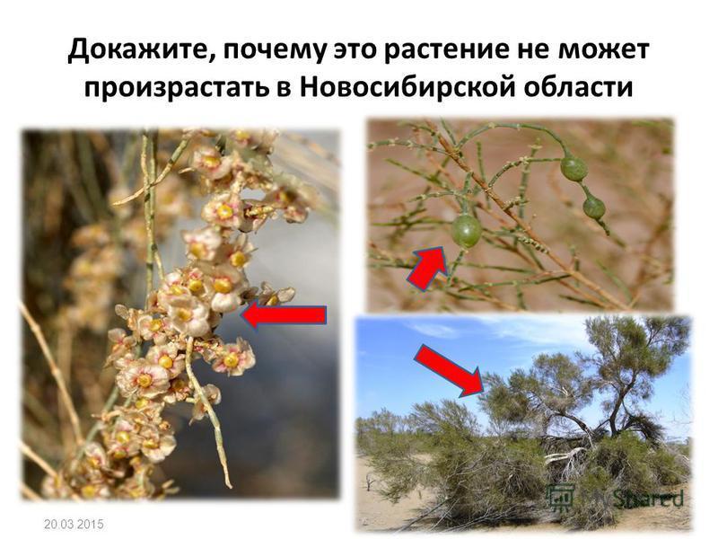Докажите, почему это растение не может произрастать в Новосибирской области 20.03.2015
