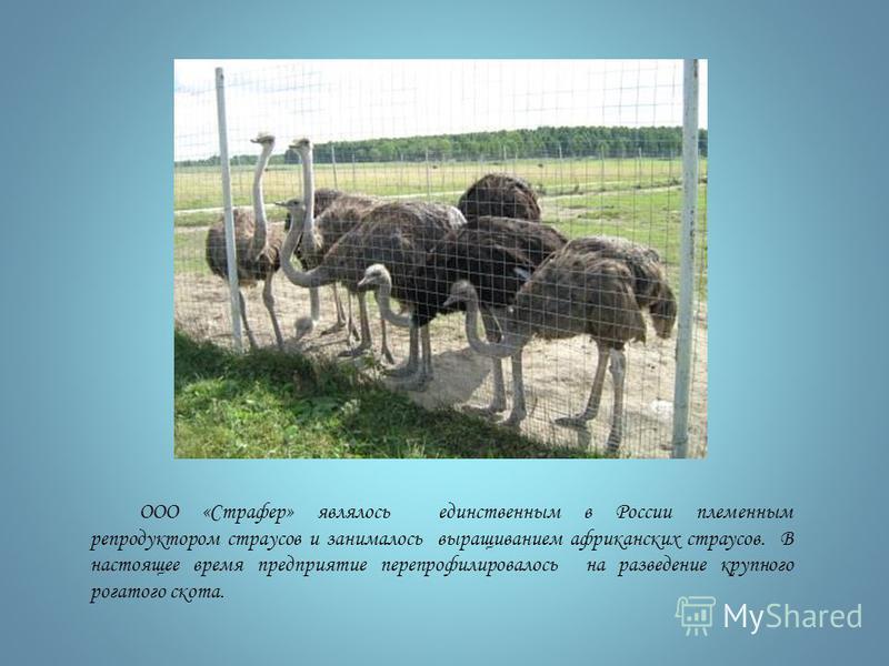 ООО «Страфер» являлось единственным в России племенным репродуктором страусов и занималось выращиванием африканских страусов. В настоящее время предприятие перепрофилировалось на разведение крупного рогатого скота.