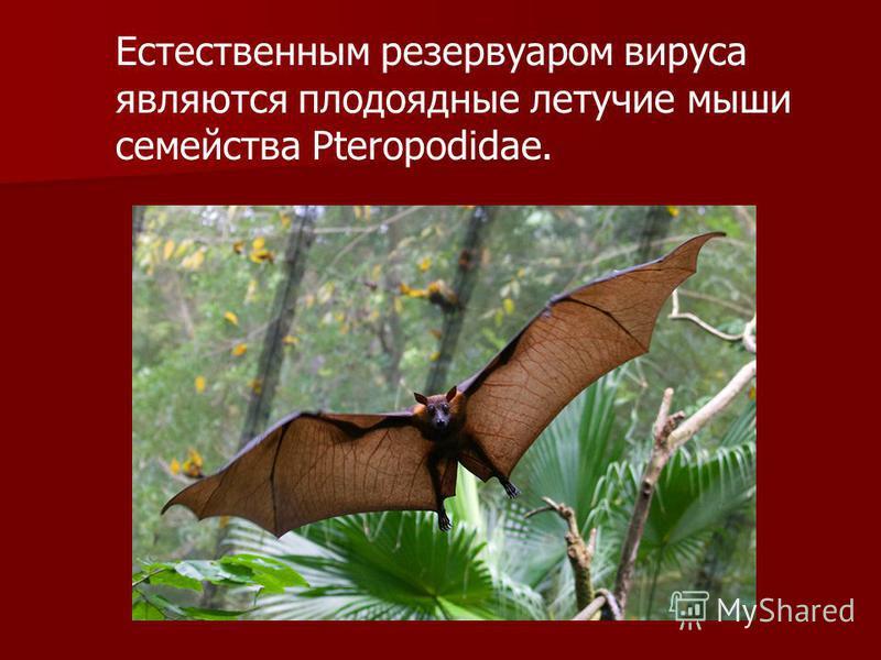 Естественным резервуаром вируса являются плодоядные летучие мыши семейства Pteropodidae.