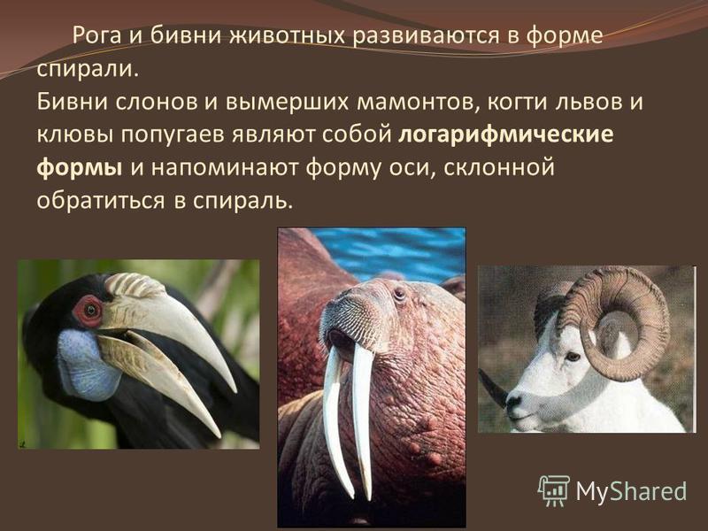 Рога и бивни животных развиваются в форме спирали. Бивни слонов и вымерших мамонтов, когти львов и клювы попугаев являют собой логарифмические формы и напоминают форму оси, склонной обратиться в спираль.