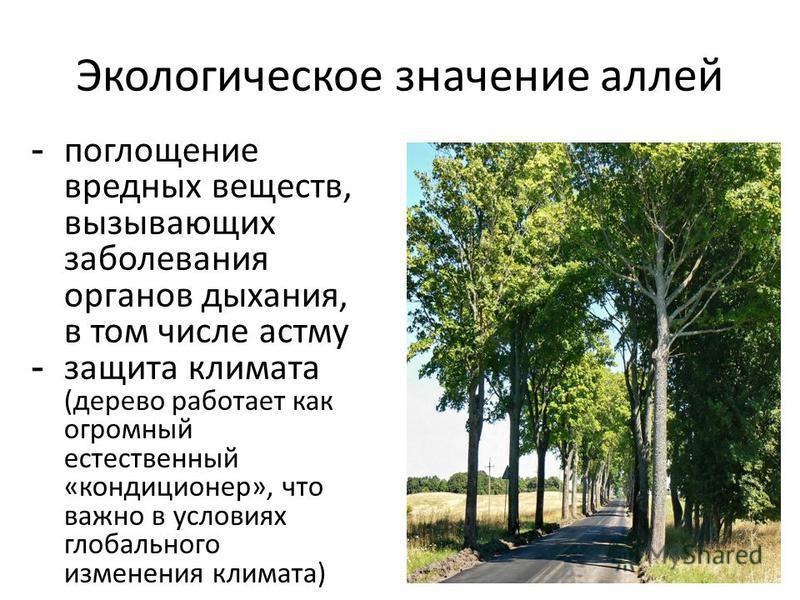 Экологическое значение аллей - поглощение вредных веществ, вызывающих заболевания органов дыхания, в том числе астму - защита климата (дерево работает как огромный естественный «кондиционер», что важно в условиях глобального изменения климата)