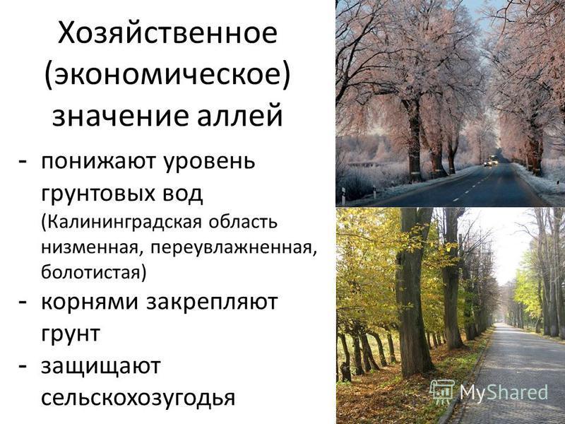 Хозяйственное (экономическое) значение аллей - понижают уровень грунтовых вод (Калининградская область низменная, переувлажненная, болотистая) - корнями закрепляют грунт - защищают сельскохозугодья