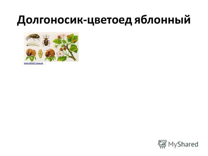 Долгоносик-цветоед яблонный