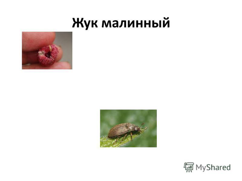 Жук малинный