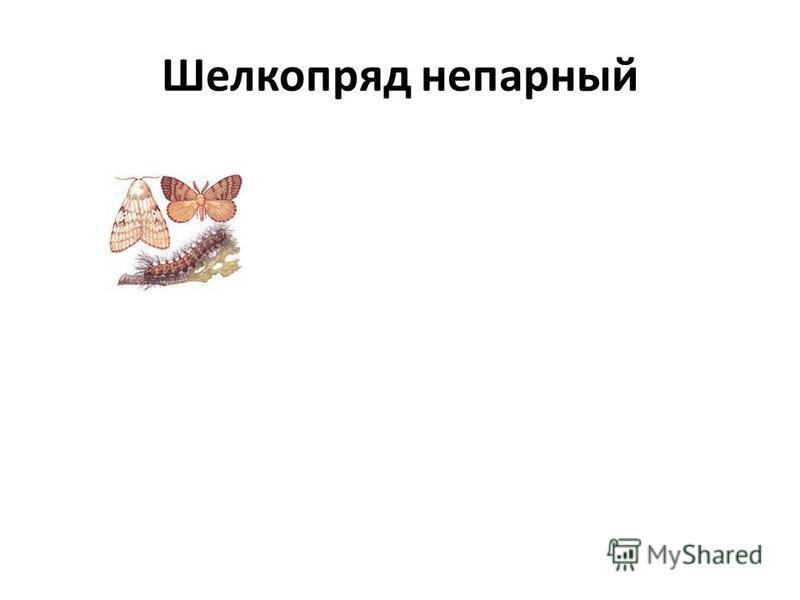 Шелкопряд непарный