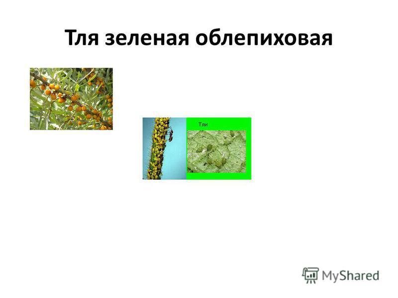 Тля зеленая облепиховая