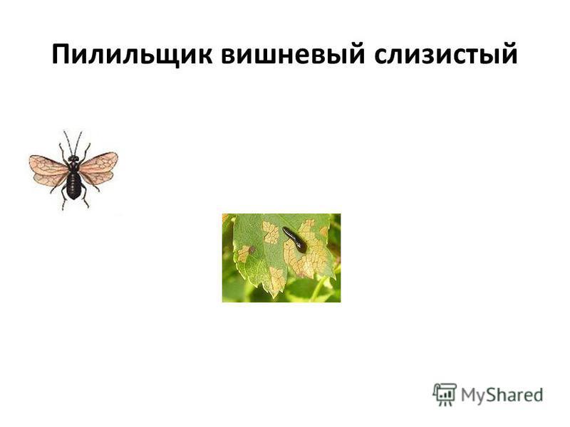 Пилильщик вишневый слизистый