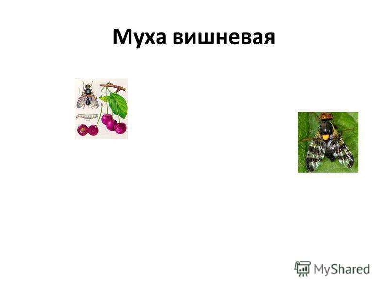 Муха вишневая