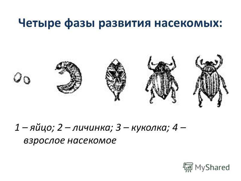 Четыре фазы развития насекомых: 1 – яйцо; 2 – личинка; 3 – куколка; 4 – взрослое насекомое