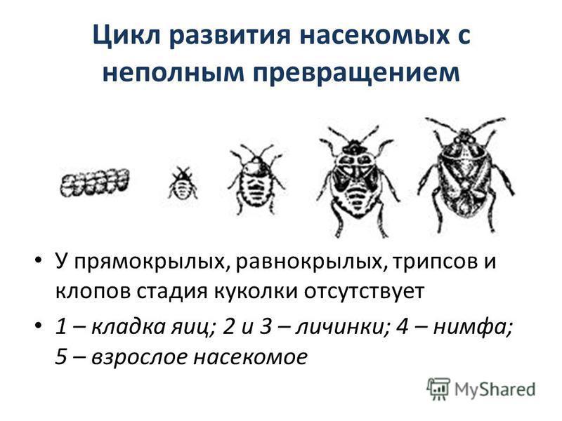 Цикл развития насекомых с неполным превращением У прямокрылых, равнокрылых, трипсов и клопов стадия куколки отсутствует 1 – кладка яиц; 2 и 3 – личинки; 4 – нимфа; 5 – взрослое насекомое
