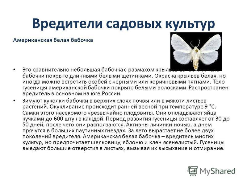 Вредители садовых культур Американская белая бабочка Это сравнительно небольшая бабочка с размахом крыльев 25–30 мм. Тело бабочки покрыто длинными белыми щетинками. Окраска крыльев белая, но иногда можно встретить особей с черными или коричневыми пят