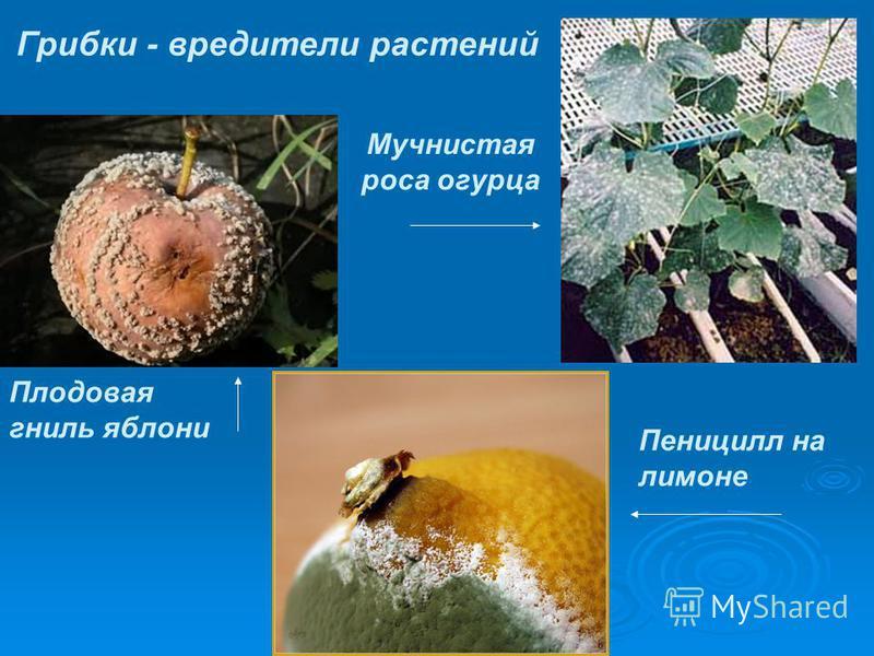 Плодовая гниль яблони Мучнистая роса огурца Грибки - вредители растений Пеницилл на лимоне