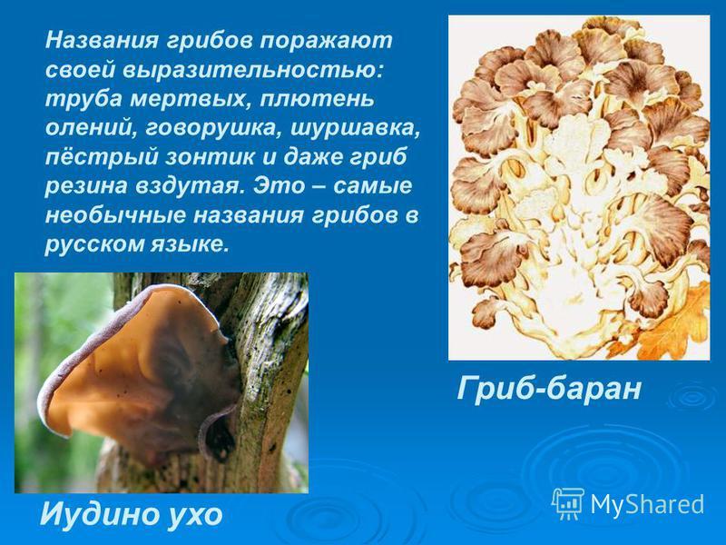 Названия грибов поражают своей выразительностью: труба мертвых, плетень олений, говорушка, шуршавка, пёстрый зонтик и даже гриб резина вздутая. Это – самые необычные названия грибов в русском языке. Иудино ухо Гриб-баран