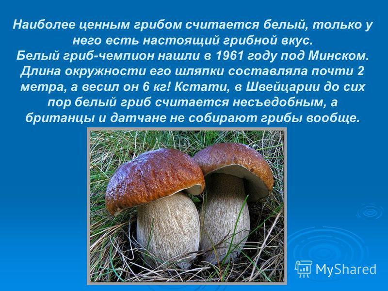 Наиболее ценным грибом считается белый, только у него есть настоящий грибной вкус. Белый гриб-чемпион нашли в 1961 году под Минском. Длина окружности его шляпки составляла почти 2 метра, а весил он 6 кг! Кстати, в Швейцарии до сих пор белый гриб счит