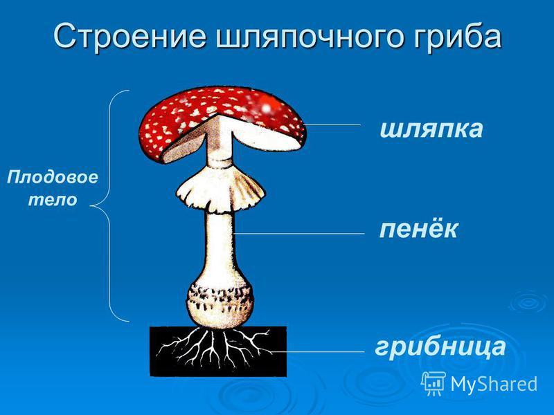 Строение шляпочного гриба Плодовое тело шляпка пенёк грибница