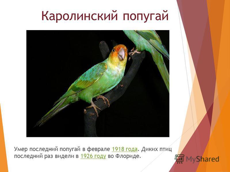 Умер последний попугай в феврале 1918 года. Диких птиц последний раз видели в 1926 году во Флориде.1918 года 1926 году Каролинский попугай