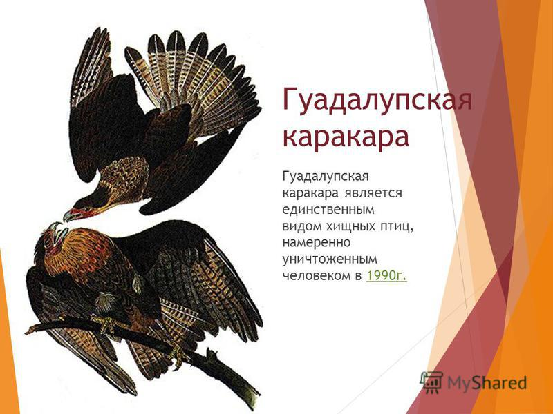 Гуадалупская каракара является единственным видом хищных птиц, намеренно уничтоженным человеком в 1990 г. Гуадалупская каракара