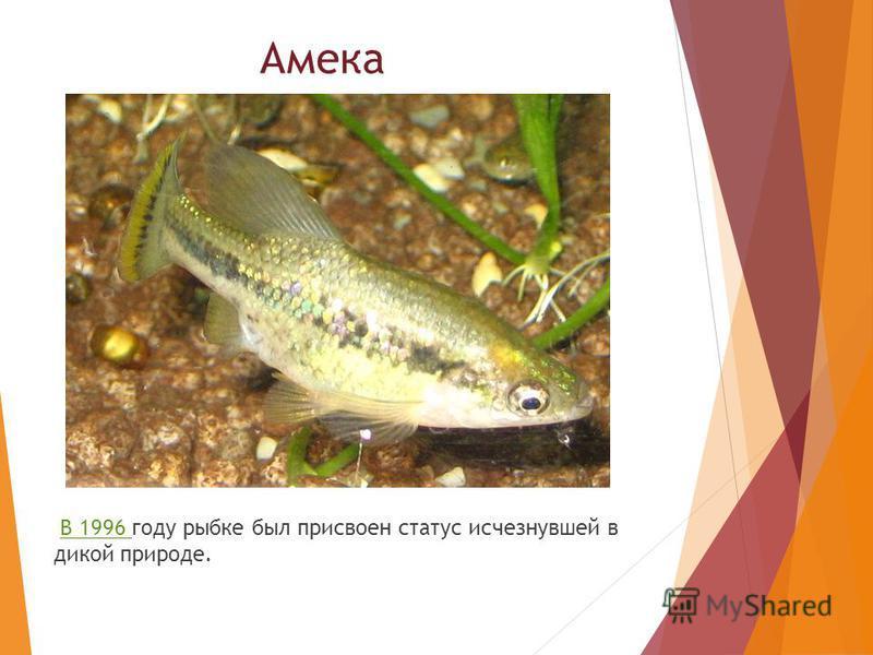 Амека В 1996 году рыбке был присвоен статус исчезнувшей в дикой природе.