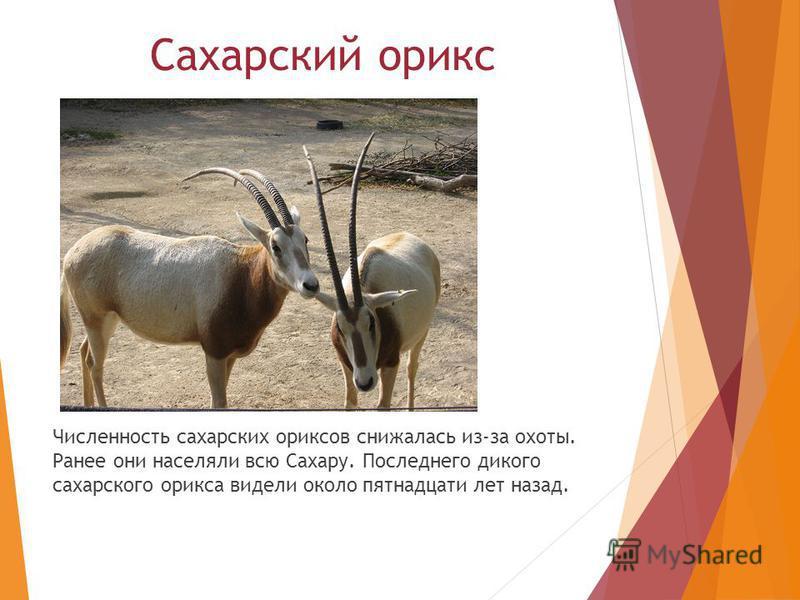 Сахарский орикс Численность сахарских ориксов снижалась из-за охоты. Ранее они населяли всю Сахару. Последнего дикого сахарского орикса видели около пятнадцати лет назад.