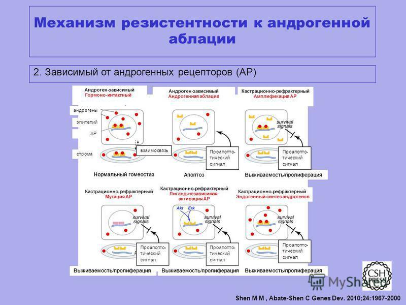Shen M M, Abate-Shen C Genes Dev. 2010;24:1967-2000 Механизм резистентности к андрогенной абляции 2. Зависимый от андрогенных рецепторов (АР) Андроген-зависимый Гормоно-интактный Андроген-зависимый Андрогенная абляция Кастрационно-рефрактерный Амплиф