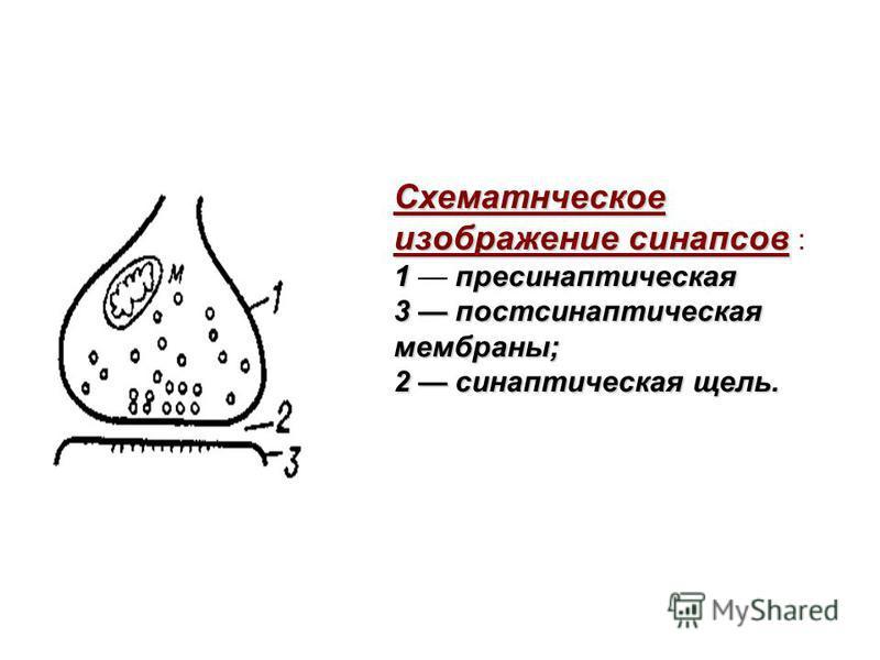 Схематнческое изображение синапсов Схематнческое изображение синапсов : 1 пресинаптическая 1 пресинаптическая 3 постсинаптическая мембраны; 2 синаптическая щель.