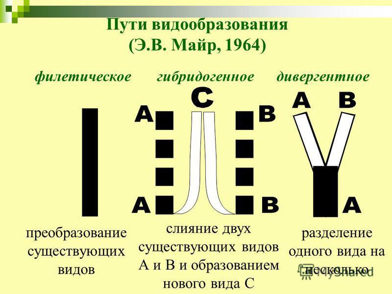 Пути видообразования (Э.В. Майр, 1964) филетическоегибридогенноедивергентное преобразование существующих видов слияние двух существующих видов А и В и образованием нового вида С разделение одного вида на несколько