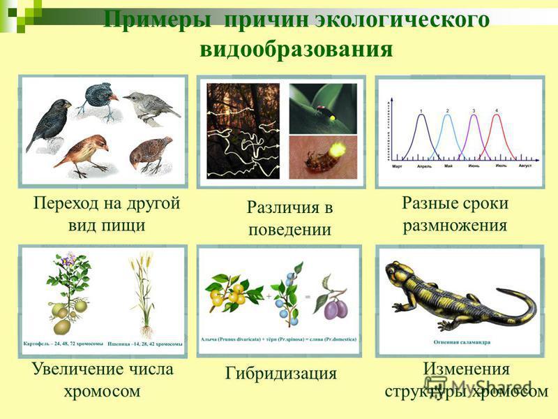 Примеры причин экологического видообразования Переход на другой вид пищи Различия в поведении Разные сроки размножения Увеличение числа хромосом Гибридизация Изменения структуры хромосом