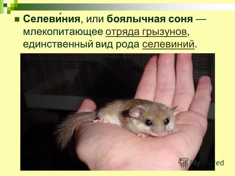 Селеви́ния, или боялычная соня млекопитающее отряда грызунов, единственный вид рода селевиний.отряда грызуновселевиний