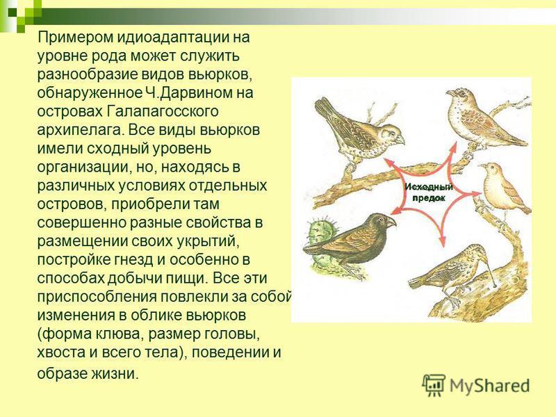 Примером идиоадаптации на уровне рода может служить разнообразие видов вьюрков, обнаруженное Ч.Дарвином на островах Галапагосского архипелага. Все виды вьюрков имели сходный уровень организации, но, находясь в различных условиях отдельных островов, п