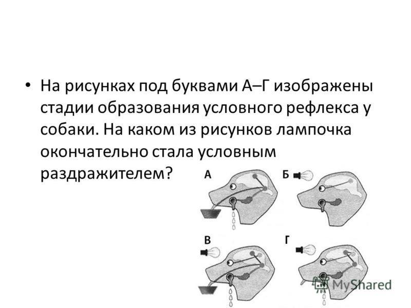 На рисунках под буквами А–Г изображены стадии образования условного рефлекса у собаки. На каком из рисунков лампочка окончательно стала условным раздражителем?