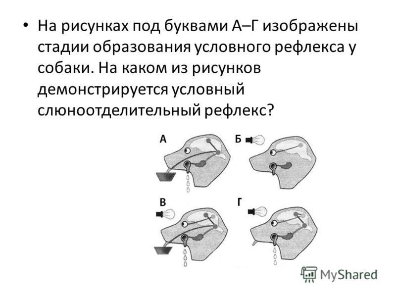 На рисунках под буквами А–Г изображены стадии образования условного рефлекса у собаки. На каком из рисунков демонстрируется условный слюноотделительный рефлекс?