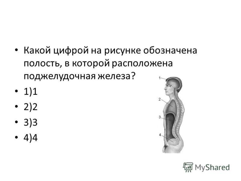 Какой цифрой на рисунке обозначена полость, в которой расположена поджелудочная железа? 1)1 2)2 3)3 4)4