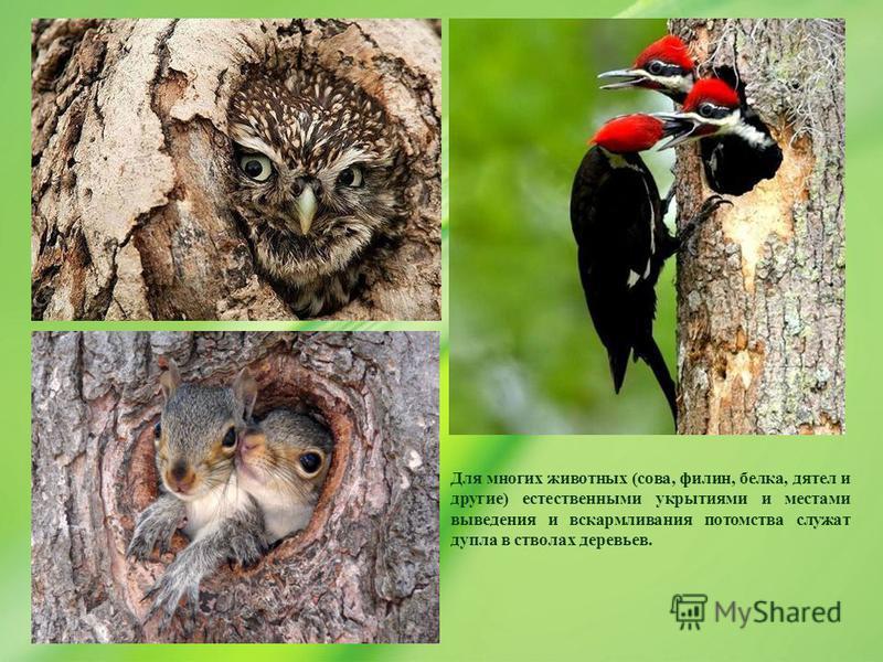 Для многих животных (сова, филин, белка, дятел и другие) естественными укрытиями и местами выведения и вскармливания потомства служат дупла в стволах деревьев.