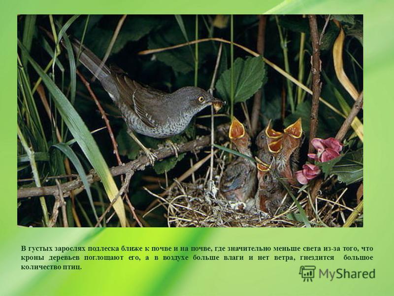 В густых зарослях подлеска ближе к почве и на почве, где значительно меньше света из-за того, что кроны деревьев поглощают его, а в воздухе больше влаги и нет ветра, гнездится большое количество птиц.