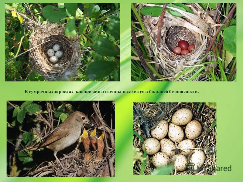 В сумрачных зарослях кладки яиц и птенцы находятся в большей безопасности.