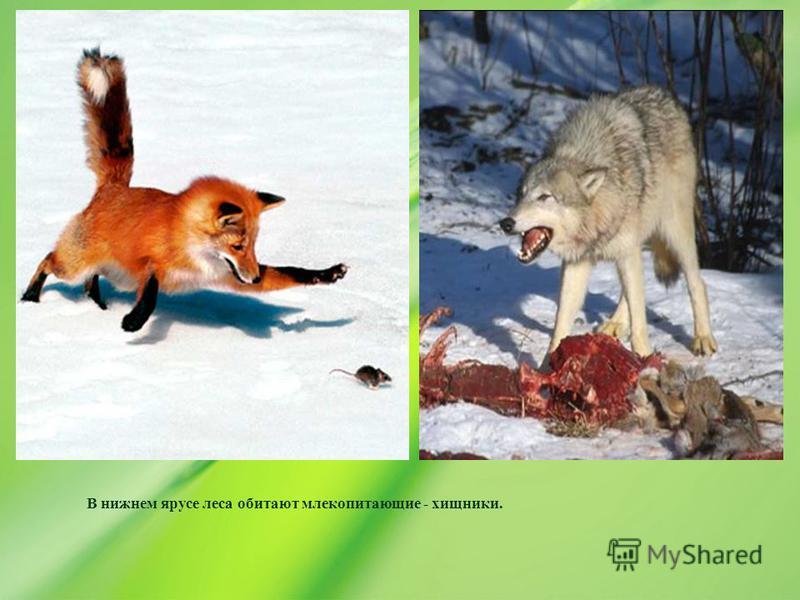 В нижнем ярусе леса обитают млекопитающие - хищники.