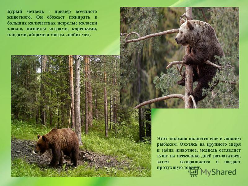 Бурый медведь - пример всеядного животного. Он обожает пожирать в больших количествах незрелые колоски злаков, питается ягодами, кореньями, плодами, яйцами и мясом, любит мед. Этот лакомка является еще и ловким рыбаком. Охотясь на крупного зверя и за