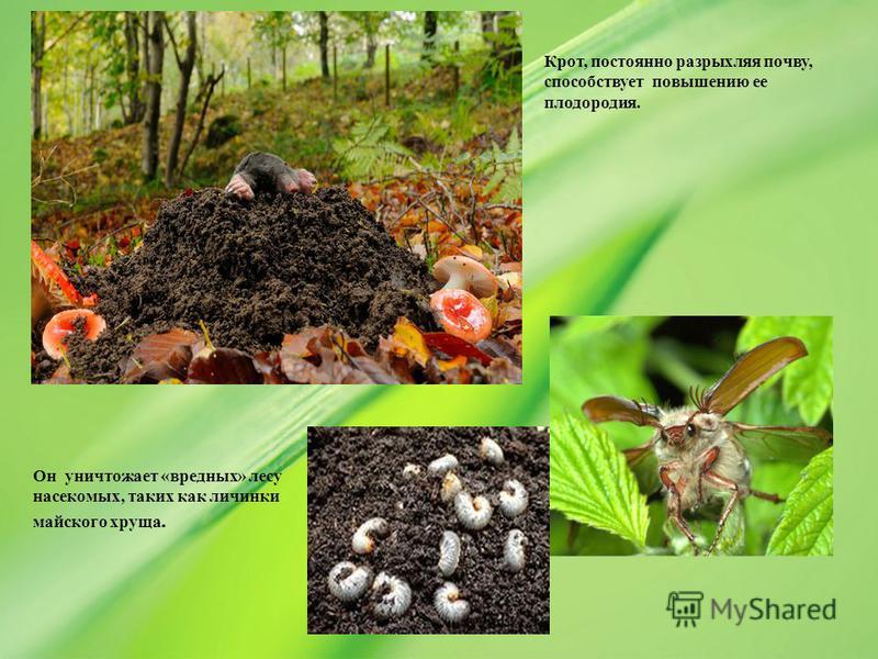 Он уничтожает «вредных» лесу насекомых, таких как личинки майского хруща. Крот, постоянно разрыхляя почву, способствует повышению ее плодородия.