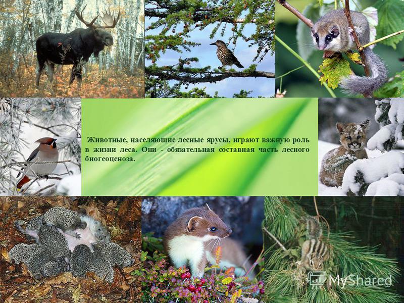 Животные, населяющие лесные ярусы, играют важную роль в жизни леса. Они - обязательная составная часть лесного биогеоценоза.