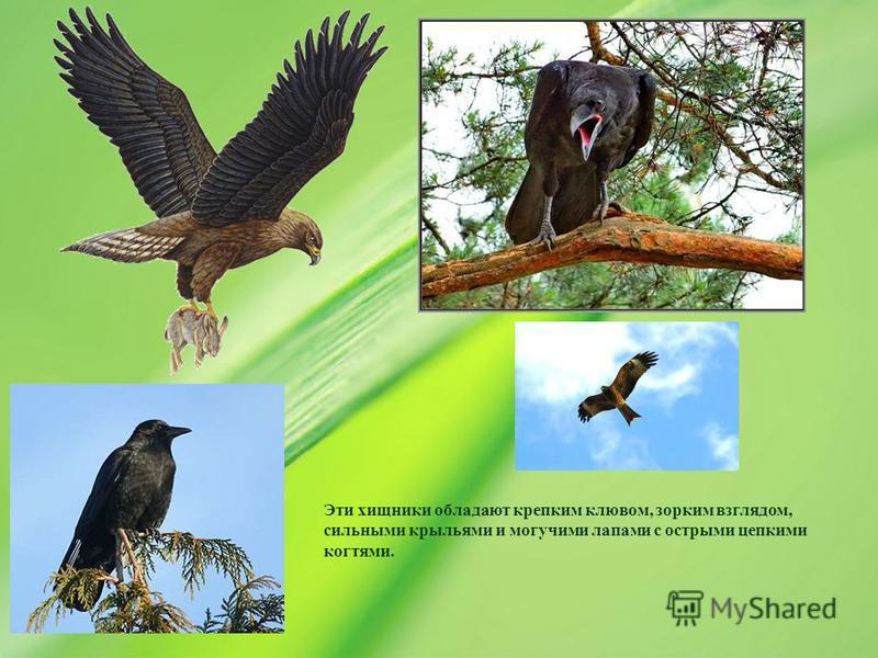 Эти хищники обладают крепким клювом, зорким взглядом, сильными крыльями и могучими лапами с острыми цепкими когтями.