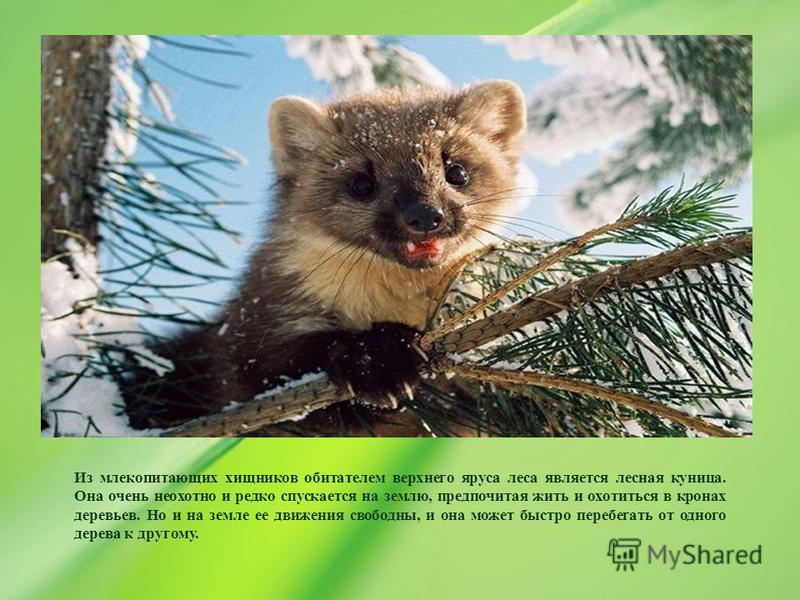 Из млекопитающих хищников обитателем верхнего яруса леса является лесная куница. Она очень неохотно и редко спускается на землю, предпочитая жить и охотиться в кронах деревьев. Но и на земле ее движения свободны, и она может быстро перебегать от одно