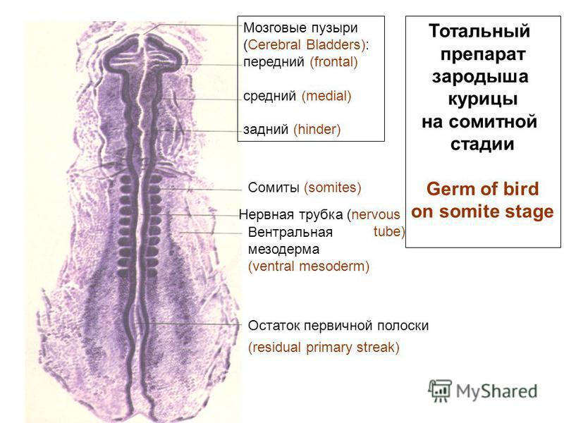 Тотальный препарат зародыша курицы на сомитной стадии Germ of bird on somite stage Мозговые пузыри (Cerebral Bladders): передний (frontal) средний (medial) задний (hinder) Сомиты (somites) Нервная трубка (nervous tube) Вентральная мезодерма (ventral