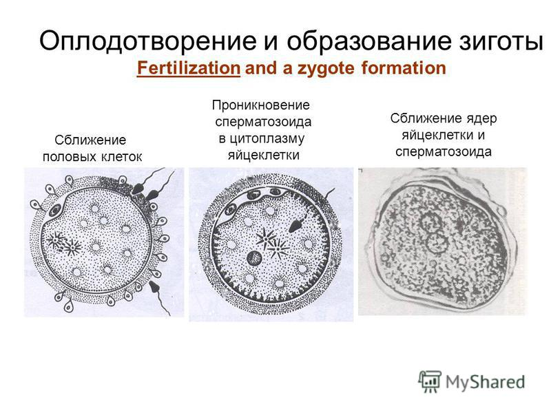 Оплодотворение и образование зиготы Fertilization and a zygote formation Сближение половых клеток Проникновение сперматозоида в цитоплазму яйцеклетки Сближение ядер яйцеклетки и сперматозоида