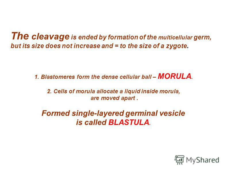1. Blastomeres form the dense cellular ball – MORULA. 2. Cells of morula allocate a liquid inside morula, are moved apart. Formed single-layered germinal vesicle is called BLASTULA. The cleavage is ended by formation of the multicellular germ, but it