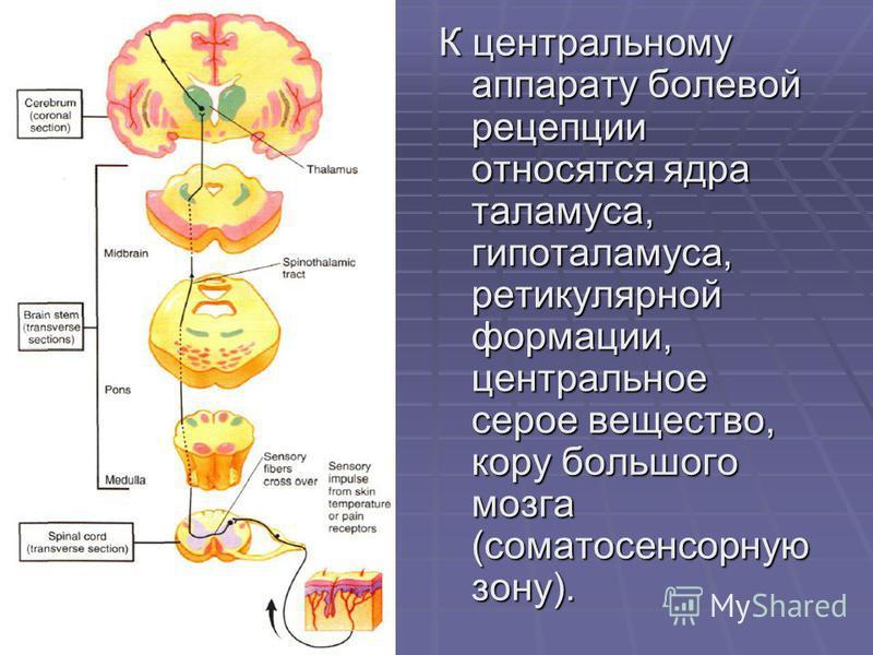 К центральному аппарату болевой рецепции относятся ядра таламуса, гипоталамуса, ретикулярной формации, центральное серое вещество, кору большого мозга (соматосенсорную зону).