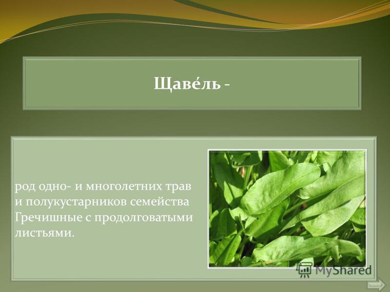 Щаве́ль - род одно- и многолетних трав и полукустарников семейства Гречишные с продолговатыми листьями.