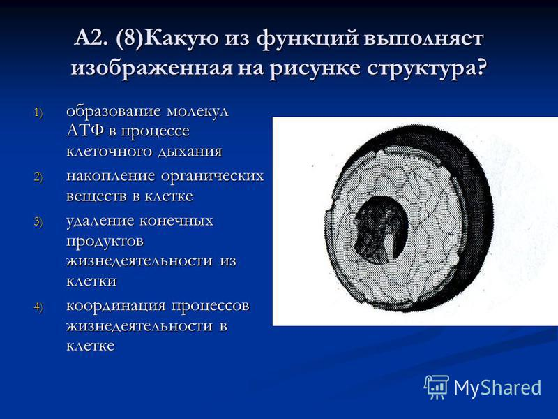 А2. (8)Какую из функций выполняет изображенная на рисунке структура? 1) образование молекул АТФ в процессе клеточного дыхания 2) накопление органических веществ в клетке 3) удаление конечных продуктов жизнедеятельности из клетки 4) координация процес